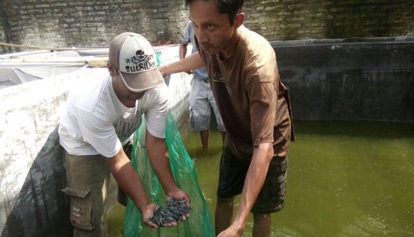 Budidaya Lele Sangkuriang, Bisnis Berprospek Menggiurkan