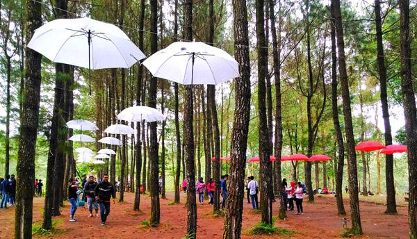 Wisata Alam Pinus Songgon Makin Diminati Masyarakat Luas